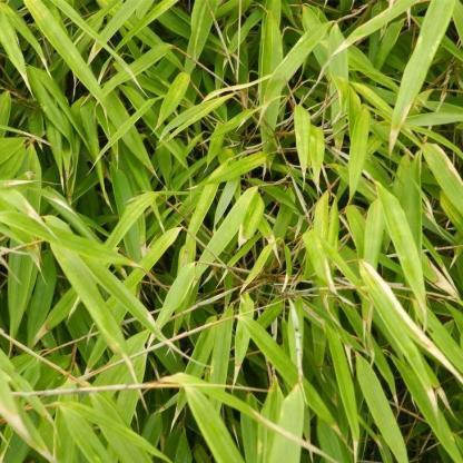 alacsony bambusz FARGESIA-murieliae-Rufa_florapont