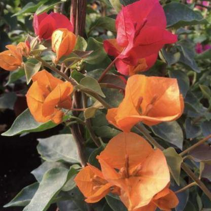 Bougainvillea california gold 1
