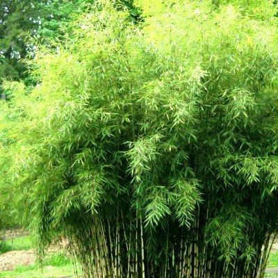 Fargesia angustissima_bambusz noveny