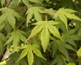 acer-palmatum-Osakazuki-japan-juhar-tavasz