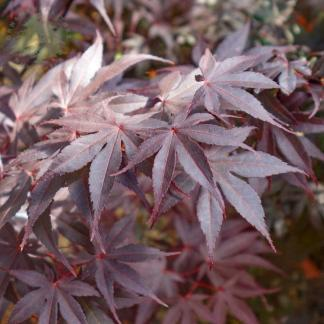 acer-palmatum-bloodgood-japan-juhar-tavasz
