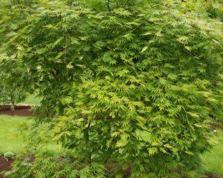 acer-palmatum-omure yama-japan-juhar-tavasz