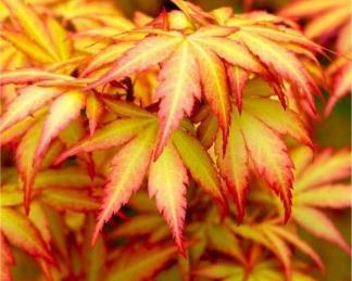 acer-palmatum-orange-dream-japan-juhar-tavasz