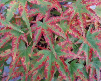 acer-palmatum-phoenix-japan-juhar-tavasz