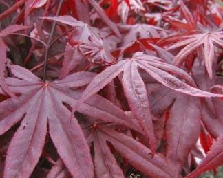 acer-palmatum-red-emperor-japan-juhar-tavasz