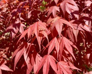 acer-palmatum-red-flash-japan-juhar-osz