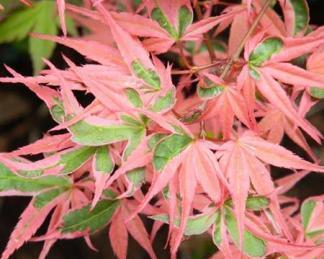 acer-palmatum-roseomarginatum-japan-juhar-tavasz