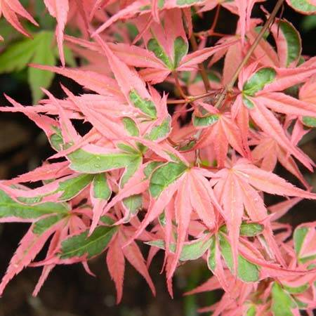 Acer Palmatum Roseo Marginatum Japán Juhar Florapont