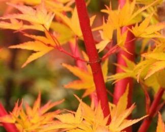 acer-palmatum-sango-kaku-japan-juhar-osz