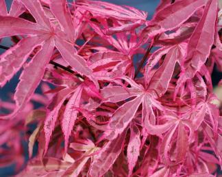 acer-palmatum-shirazz-japan-juhar-tavasz