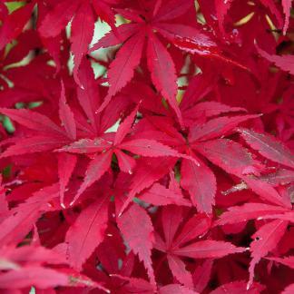 Acer palmatum 'Skeeter's Broom' őszi kép
