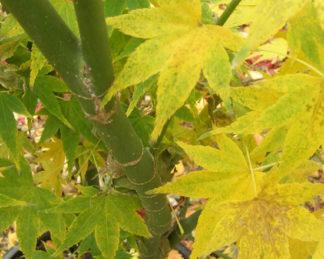 acer-palmatum-ukon-japan-juhar-nyar