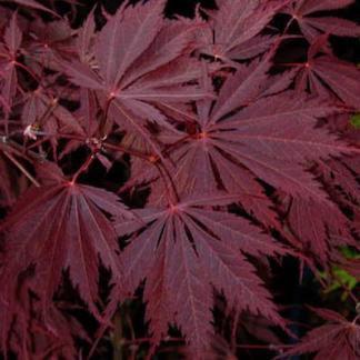 acer-palmatum-yasemin-japan-juhar-tavaszi levele