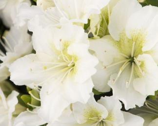 azalea-japonica-maischnee fehér virága