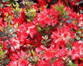 azalea-japonica-stewartstonian