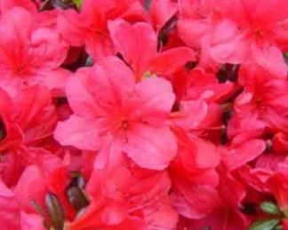 azalea_japonica_maruschka_