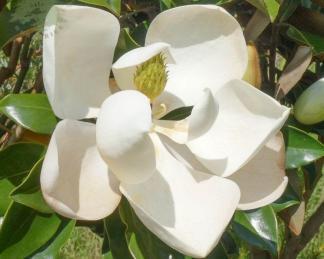 magnolia-grandiflora-örökzöld liliomfa-virág
