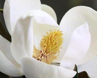 magnolia-grandiflora-semperflorens-örökzöld magnólia virága