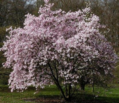 """Magnolia loebneri 'Leonard Messel' - Liliomfa 1 <span class=""""st"""">A <strong>Leonard Messel </strong>liliomfa virágai kétszínűek, kívül bíborosrózsaszín, belül fehér, nagy, 15-20 cm-es, lombfakadás előtt, áprilisban nyílnak. </span> <em>Kiszerelés: konténer, 3 literes, 60/80 cm magas</em>"""