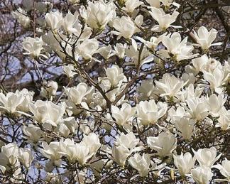 magnolia-yulan-liliomfa-fehér virága
