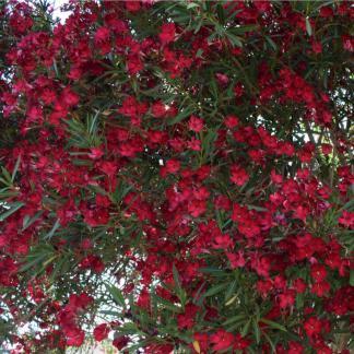 Leander (Nerium Oleander)