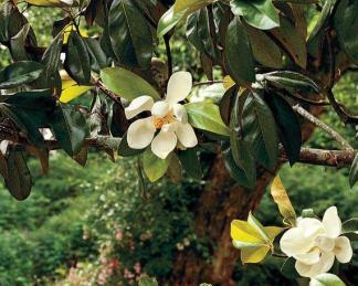 Örökzöld lombú fák