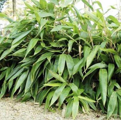 sasa plamata nebulosa alacsony bambusz noveny_florapont