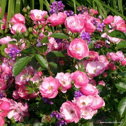 Angela rózsaszín bokorrózsa