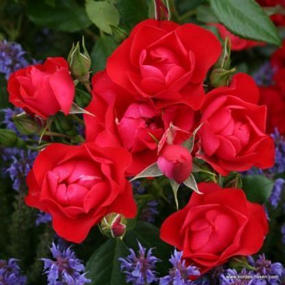 Black Forest piros talajtakaró rózsa
