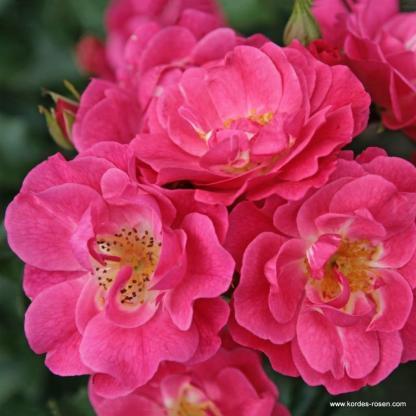 Bluehwunder 08 - rózsaszín bokorrózsa