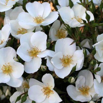 Escimo fehér bokorrózsa
