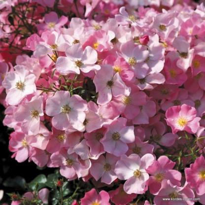 Fortuna rózsaszín talajtakaró rózsa