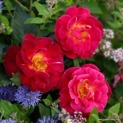 Ile de Fleurs bordó bokorrózsa