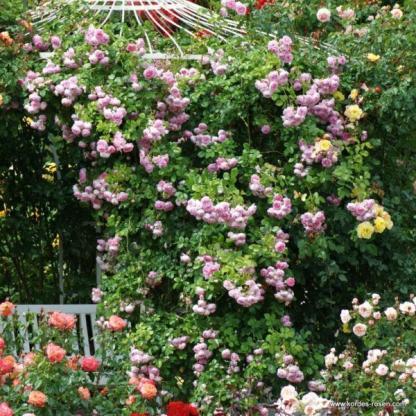 Jasmina rózsaszín futórózsa