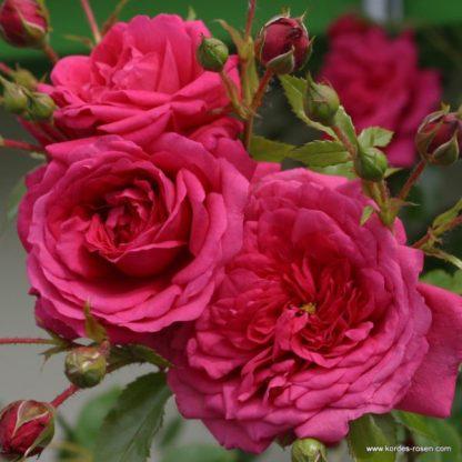 Laguna rózsaszín futórózsa