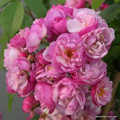 Lavender Siluetta futórózsa