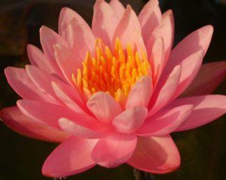 Nymphaea-waterlily-perrys-orange-sunset-tavirózsa