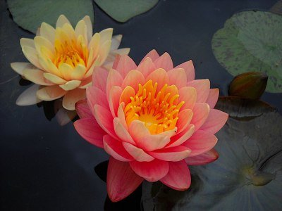 Nymphaea-waterlily-perrys-orange-sunset-tavirozsa2