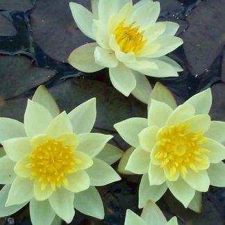 Nymphaea-waterlily-pygmaea-helvola-tavirózsa