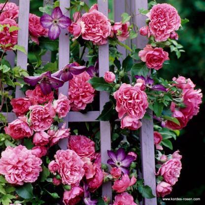 Rosarium Uetersen rózsaszín bokorrózsa