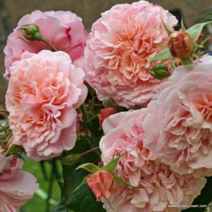 Rose de Tolbiac rózsaszín futórózsa