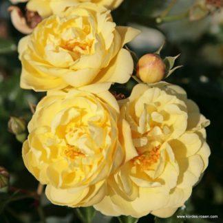 Sunny Rose sárga talajtakaró rózsa