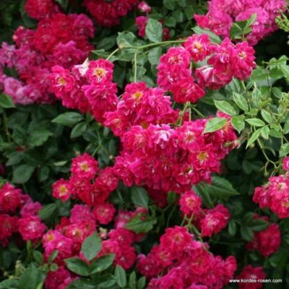 Super Excelsa rózsaszín futórózsa