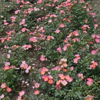 Topolina talajtakaró rózsa