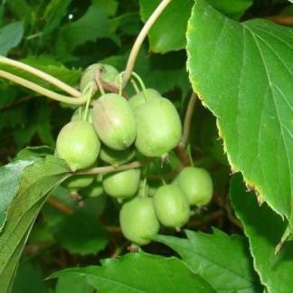 actinidia-arguta-issai-kopasz-kivi