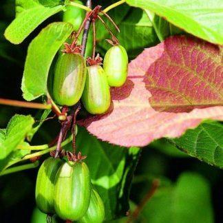 actinidia-kolomikta-sentyabraskaya-kivi-gyumolcs