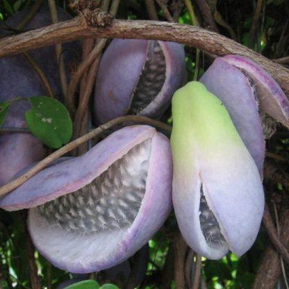 akebia-quinata-silver-bells-termése
