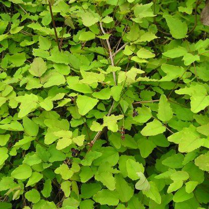 akebia-trifoliata-level és ág