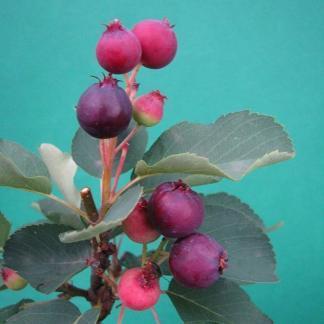 amelanchier-alnifolia-honeywood-egerlevelu-fanyarka-bogyo