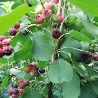 amelanchier-alnifolia-mandam-egerlevelu-fanyarka-bogyo